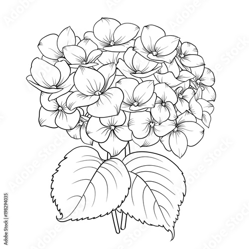 Blooming flower hydrangea on white background Fototapet