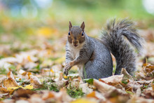 Grey Squirrel In Autumn Leaves...