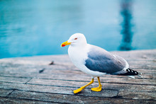 A Large Seagull Walking Along A Wooden Pier
