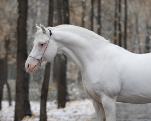 Portrait of white cremello horse on nature background in winter