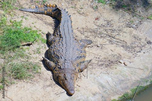 Foto op Plexiglas Krokodil Freshwater crocodile lying of the farm. Green Water, National Safary park Ramat Gan, Israel
