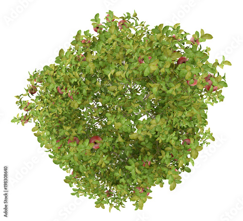 top view of apple tree with red apples isolated on white background
