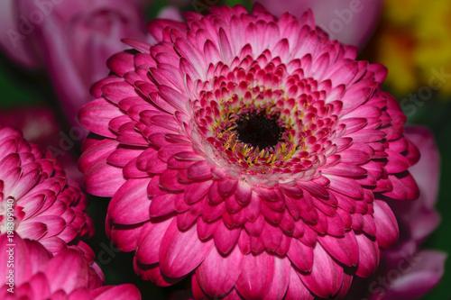 Photo Barberton daisy aka Gerbera Jamesonii purple flower close up
