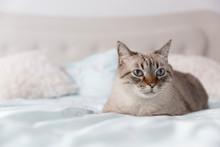 Metis Cat Portrait. Front View...