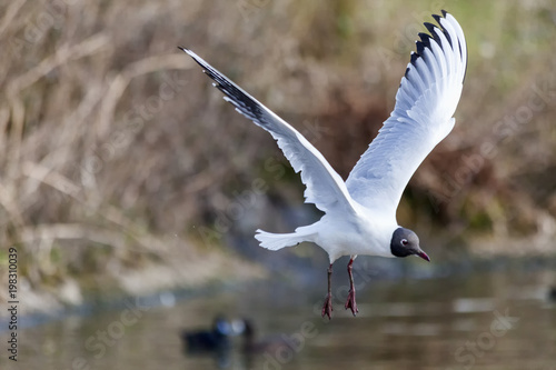 Black headed Gull ( Larus ridibundus) in flight which is a common seagull sea bird