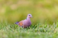 Turtle Dove, Streptopelia Turt...