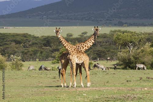 Foto op Canvas Giraffe Giraffe Pair