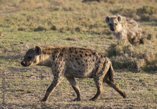 Foto op Canvas Hyena Hyena