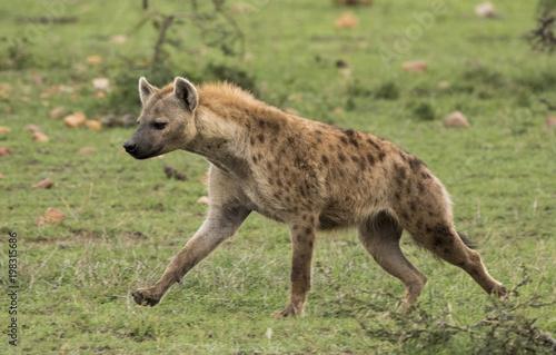 In de dag Hyena Hyena Running