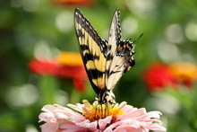 An Eastern Tiger Swallowtail B...