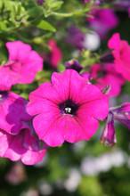 Petunia Hybrid Purple Plant Or Surfinia Giant Purple Flowers