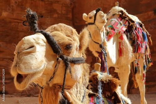 Tuinposter Midden Oosten Portrait of camels in Petra, Jordan, Middle East