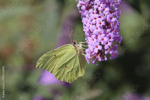 Fotobehang Lavendel papillon