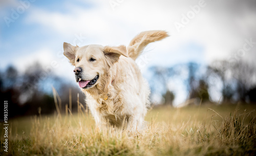 Fototapeta Golden Retriever in the long grass