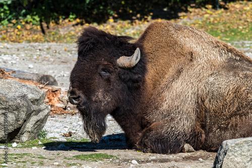 Aluminium Prints Bison Waldbison - Bison bison athabascae