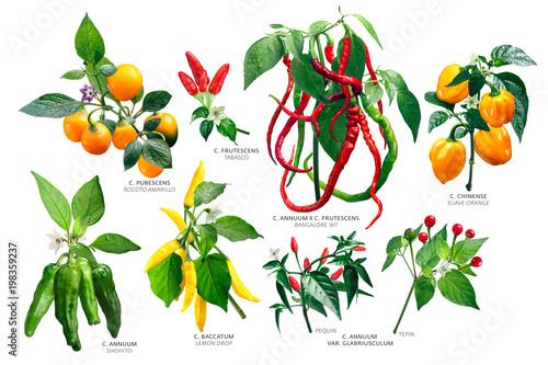 Capsicum peppers plants, paths Wallpaper Mural