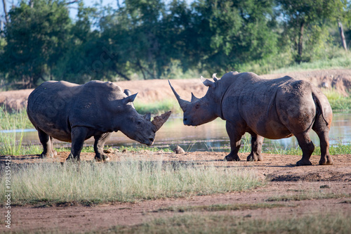 Foto op Aluminium Neushoorn White rhino walking towards the camera in the Kruger National Park, South Africa.