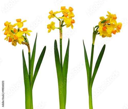 Set of narcissus flowers