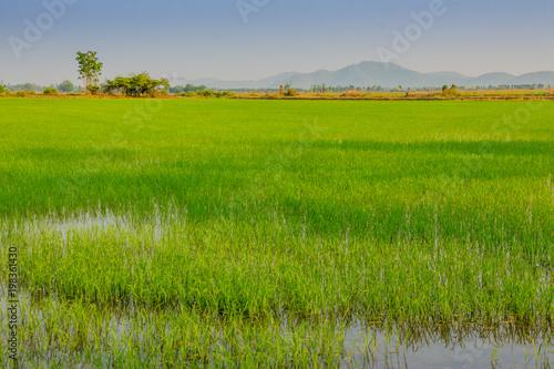 Poster Rijstvelden Beautiful rice field before sunset in Kanchanaburi Thailand