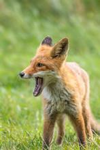 A Full Body Portrait Of A Yawn...