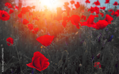 Poster Klaprozen wild poppy flower at sunset