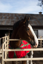 Giant Clydesdale