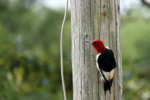 A Red Headed Woodpecker On A Wooden Pole.