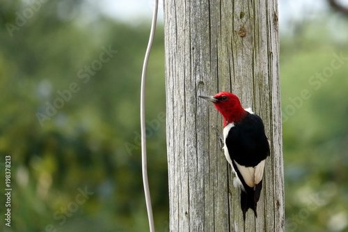 Photo  A Red Headed Woodpecker on a wooden pole.