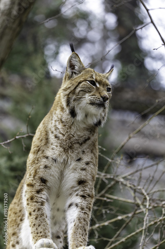 Wall Murals Lynx The Eurasian lynx