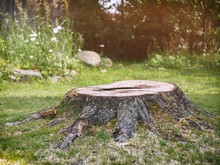Tree Stump On The Lawn In The ...