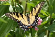 An Eastern Tiger Swallowtail B...