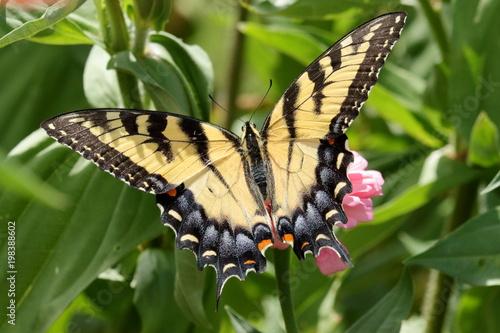 Valokuvatapetti An Eastern Tiger Swallowtail Butterfly on a pink zinnia flower in the garden