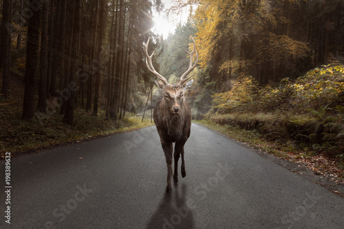 Photo sur Aluminium Roe Hirsch auf eine Straße im Herbst