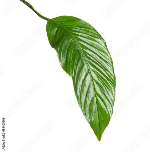 Fototapeta Beautiful tropical Spathiphyllum leaf on white background obraz na płótnie