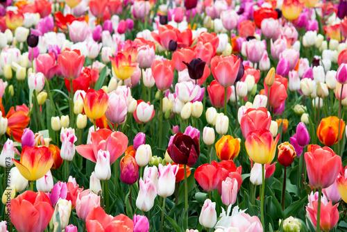 Foto op Plexiglas Tulp Flower tulips background. Beautiful view of color tulips