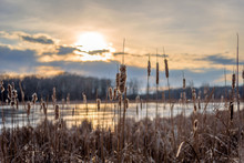 Closeup Of Cattails Along Lake...