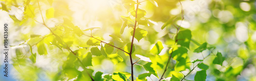 Poster Natuur New birch leaves on green spring background. Fresh foliage in the forest in nature with beautiful sunlight