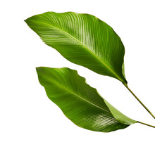Calathea Foliage, Exotic Tropi...