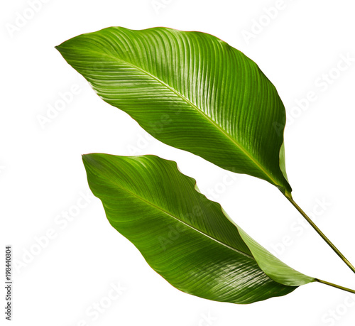 Calathea foliage, Exotic tropical leaf, Large green leaf, isolated on white background with clipping path Wall mural