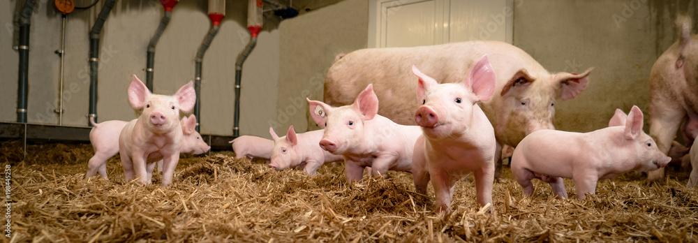Fototapeta Schweinezucht - Gruppenhaltung von Saugferkeln auf Stroh