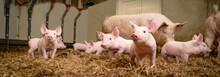 Schweinezucht - Gruppenhaltung...
