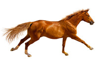 Chestnut Young Horse Is Galloping Fast In The Wild.