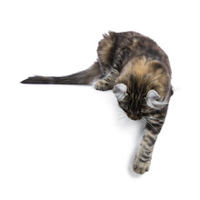 Black Tortie Tabby American Curl Cat / Kitten Laying Down With Paw Over Edge Looking Side Ways Isolated On White Background