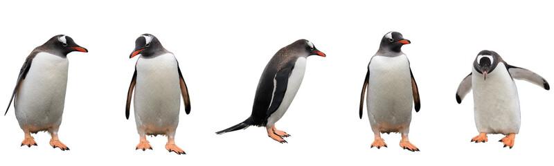 Gentoo penguins isolated on white background
