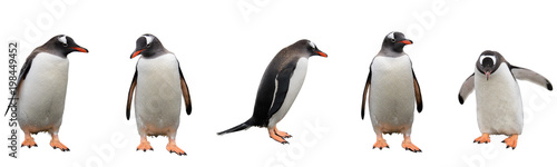 Photo Stands Antarctica Gentoo penguins isolated on white background
