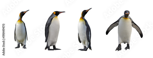 Obraz na plátně King penguins isolated on white background