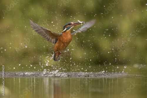 Foto op Canvas Vogel Kingfisher, Alcedo atthis