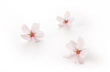 桜の花 ソメイヨシノ...