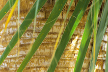 Leaves Of Palm Trees Against The Bark Background, Shallow Depth Of Field. Close-up Of Fragments. In The Category Of The Creative Background Of Exotic Summer Relaxation, The Screen Saver, Wallpaper