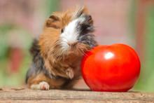 Meerschweinchen Baby Mit Tomate